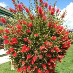 callistemon rouge Tunisie
