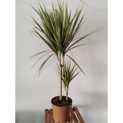 dracena marginata rose