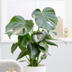 plante monstera tunisie